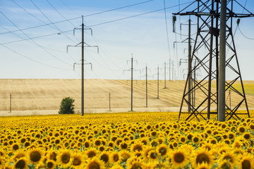 Hilly fields with sunflowers and wheat and power poles. The agrarian and energy sector.