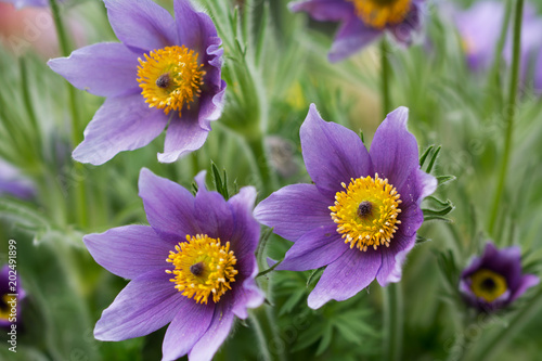 Three anemone flowers on green background of leaves - closeup