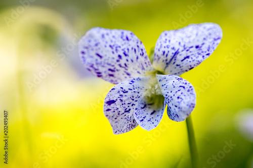 Plexiglas Lavendel Violette freakless