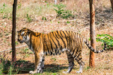Bengal tiger  close view at zoo at different position at national park.