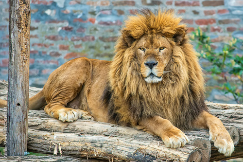 A lion in captivity