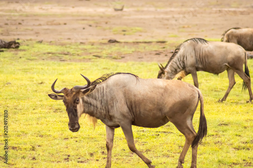 Wildebeest herds grazing in the savannah of Amboseli