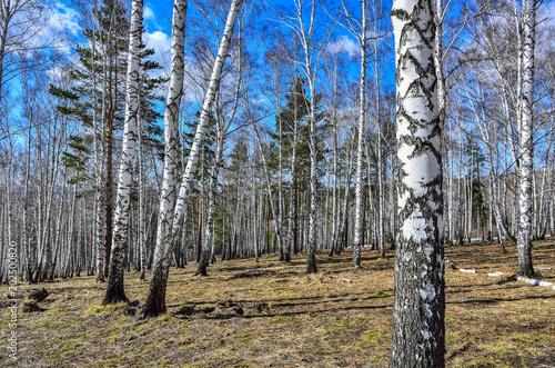 Fotobehang Berkenbos Early spring sunny landscape in the birch grove