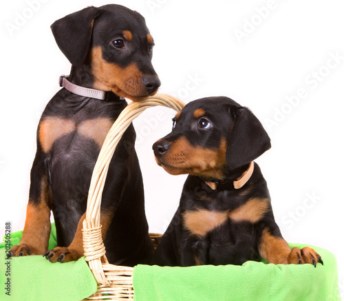 Two adorable German Pinscher puppies