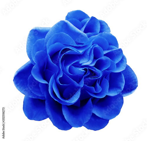Plexiglas Donkerblauw Blue rose flower on a white isolated background with clipping path.Closeup no shadows. Nature.
