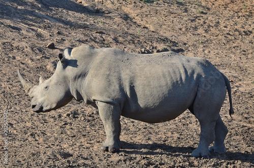 Fotobehang Neushoorn rhino8