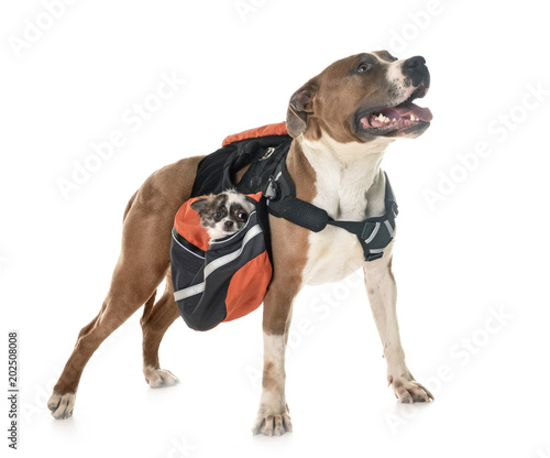 american staffordshire terrier, chihuahua and bag