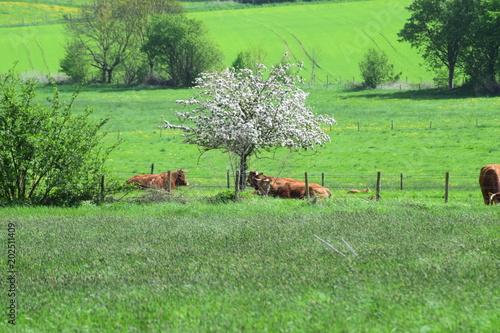 Aluminium Lime groen Kühe auf der Weide