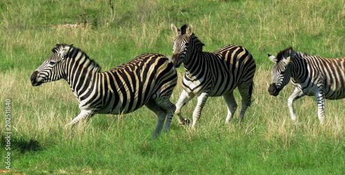 3 Zebra's running free in the wild
