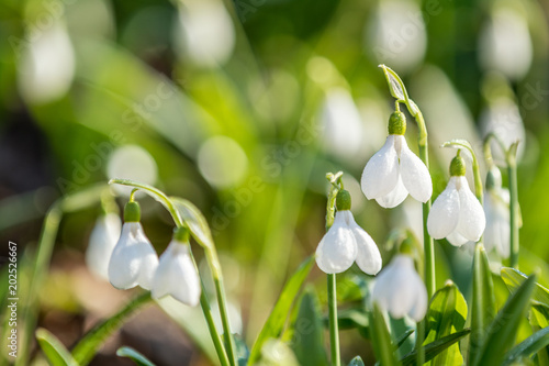 Fototapeta White blooming snowdrop folded or Galanthus plicatus. Spring sunny day in the forest.