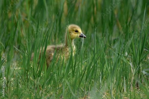 Gosling baby goose close-up