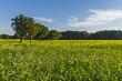 Leinwanddruck Bild - Schwarzer Senf (Brassica nigra)