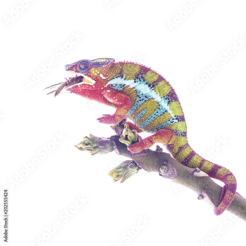 Colorful chameleon on the top of the branch eating large insect species on the white background. Close up illustration photography.