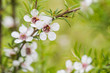 Manuka Flower, from which honey with medicinal benefits is made