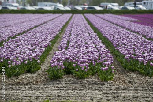 Plexiglas Tulpen Champ de fleurs