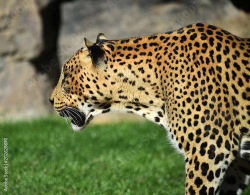 mata magnetyczna Leopardo