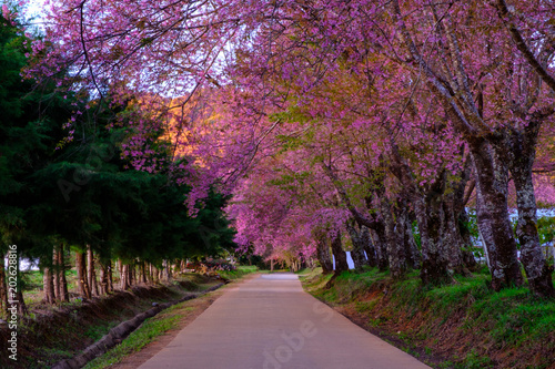 Fotobehang Crimson Cherry blossom in Khun Wang ChiangMai, Thailand.