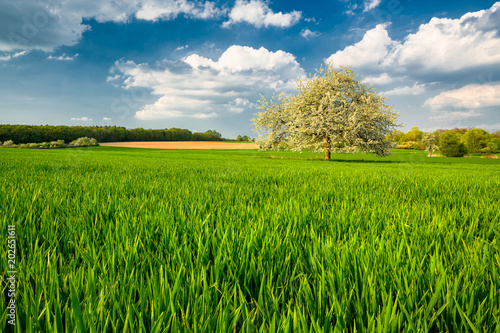 Green Field with Apple Tree in Spring