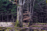 Deciduous trees in conifer woodland at Beecraigs Country Park, Linlithgow, West Lothian, Scotland, United Kingdom. - 202667435