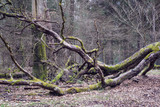 Fallen deciduous tree in conifer woodland at Beecraigs Country Park, Linlithgow, West Lothian, Scotland, United Kingdom. - 202667838