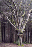Deciduous tree in conifer woodland at Beecraigs Country Park, Linlithgow, West Lothian, Scotland, United Kingdom. - 202667895