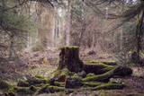 Old tree stump in woodland, covered with moss and grass at Beecraigs Country Park, Linlithgow, West Lothian, Scotland, United Kingdom. - 202668015