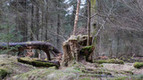 Moss covered stump and fallen deciduous tree in conifer woodland at Beecraigs Country Park, Linlithgow, West Lothian, Scotland, United Kingdom. - 202668080