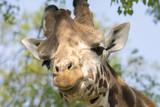 closeup of a giraffe in a safari