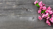 Cherry Blossom branches on vintage wood in overhead view