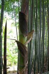 Tokyo,Japan-April 29, 2018: Sheaths of bamboo sprout are going to peel as a bamboo sprout grows.