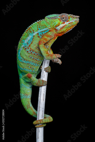 Fotobehang Kameleon alive chameleon reptile