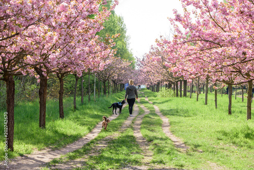 Fotobehang Lichtroze view of cherry blossom trees