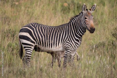 Cape Mountain Zebra Poster