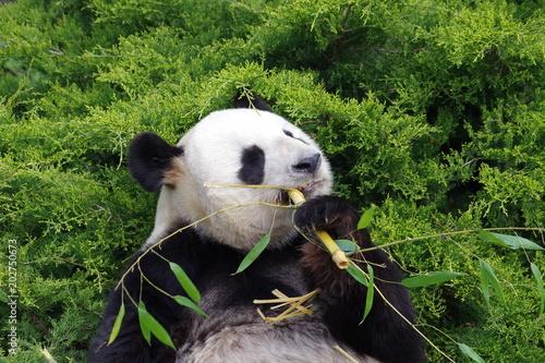 Plexiglas Panda Le repas du panda géant