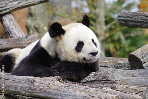 Fotobehang Panda Le songe du panda géant