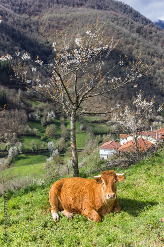 Cow under a tree in Picos de Europa National Park, Spain