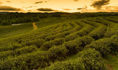Green tea field in a row with sunset skyline, natural landscape background