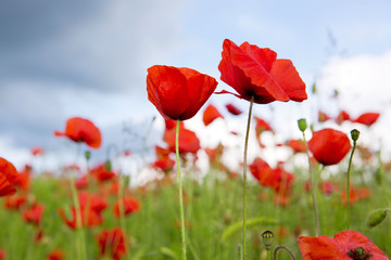 Poppy field and clouds.
