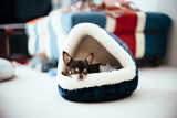 Chihuahua is sleeping comfortably in a bed like rice ball