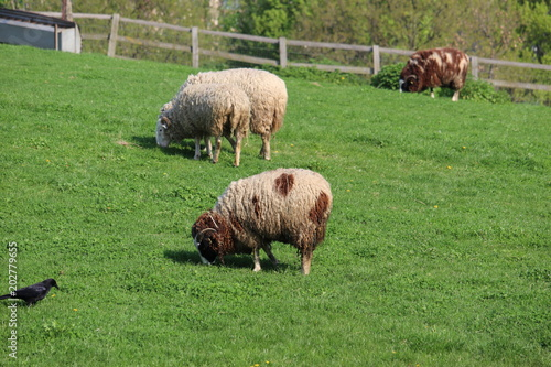 Brown Sheep grazing on green hillside