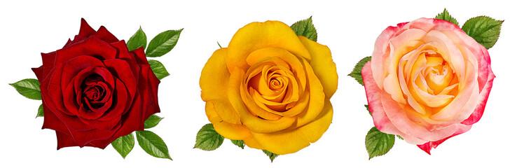 rose isolated on white background © ilietus
