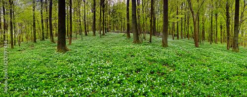 wiosna w lesie buków - 202797434