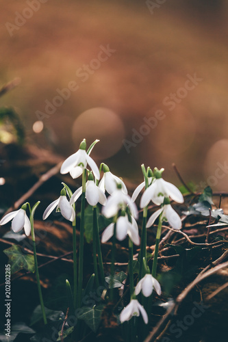 Fototapeta Close up of snowdrops in spring