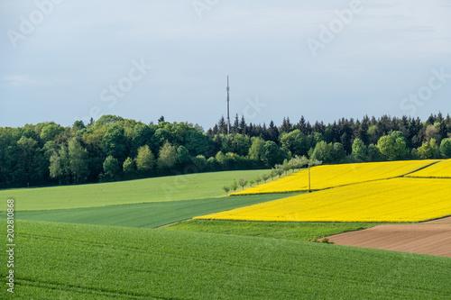 Fototapeta Rapsfelder im Frühjahr