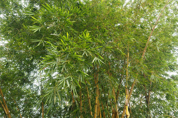 Green bamboo very high and many leaf