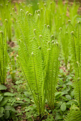 green fern grows in a forest in early spring