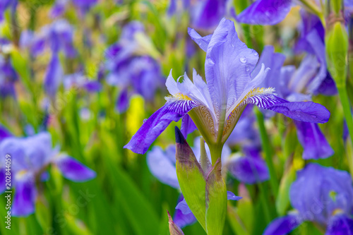 Photo of violet flowers on green leaves background - 202844059