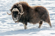 The muskox as big as majestuous