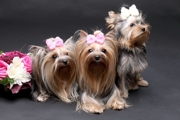 Yorkshire terrier family on a gray background with a flower arrangement
