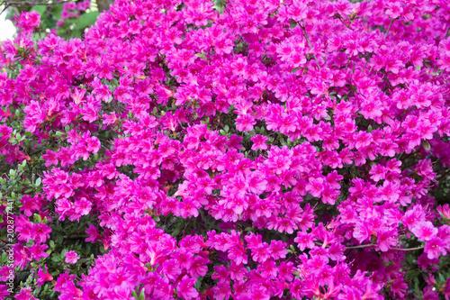 Fotobehang Azalea azalee lila